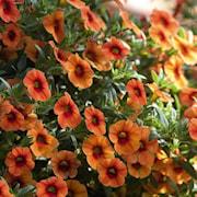 minipetunia-aloha-kona-hot-orange-3-plantor-1