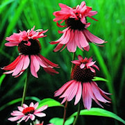 rudbeckia-double-decker-1st-barrotad-1