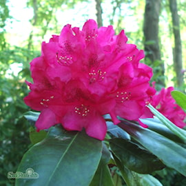 rhododendron-nova-zembla-1