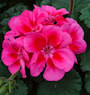 zonalpelargon-castello-rose-red-eye-claire-12-2