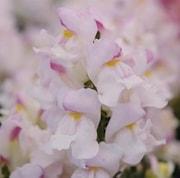 lejongap-snapshot-plum-blossom-105cm-kruka-1