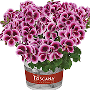 nglapelargon-florella-purple-105cm-kruka-1