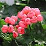 tulpanblommande-pelargon-pink-pandora-1st-2