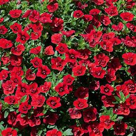 minipetunia-minifamous-double-dark-red---3-pl-1