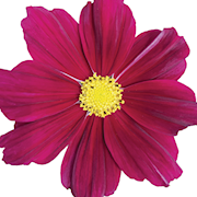rosenskra-sonata-purple-105cm-kruka-1