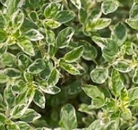 oregano-variegatum-105cm-kruka-1