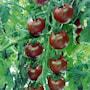 krsbrs--tomat-sunchocola-f1-8