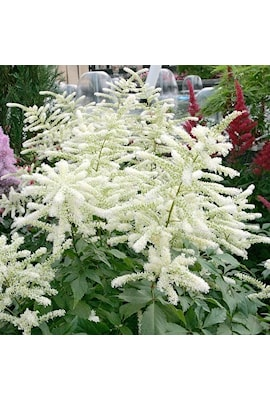 astilbe-washington-3st-barrotad-1