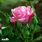 floribunda-rabattros-sofiero-20cm-kruka-1