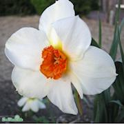 stjrnnarciss-barrett-browning-storpack-25st-1