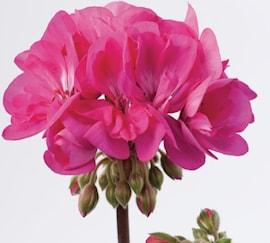 zonalpelargon-dolce-vita-lilac-klaas-12cm-kru-1
