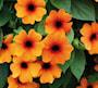 svartga-sunny-susy-red-orange---3-plantor-2