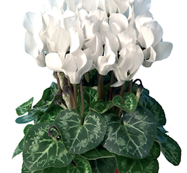 cyklamen-mini-winter-white-12cm-kruka-1