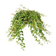 stverbena-growflow-105cm-kruka-1