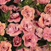 minipetunia-aloha-double-apricot-3-plantor-1