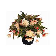 begonia-cream-105-cm-kruka-1