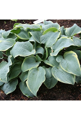 hosta-frosted-dimples-1st-barrotad-1