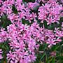 nerine-bowdenii-pink-2st-2