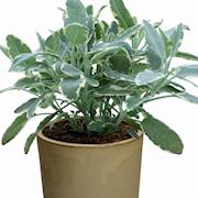 kryddsalvia-berggarten-105cm-kruka-1
