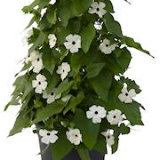 svartga-suneyes-white-105cm-kruka-1