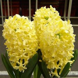 hyacint-yellowstone-5st-1