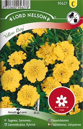 tagetes-sammets--yellow-boy-1