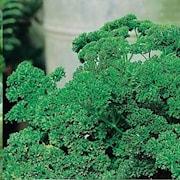persilja-krusbladig-9cm-kruka-1