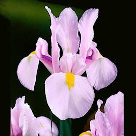hollndsk-iris-carmen-15st-1