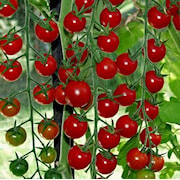 tomat-supersweet-105cm-kruka-1