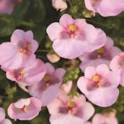 tvillingsporre-breeze-pink-105cm-kruka-1