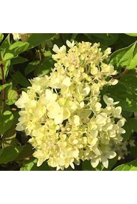 vipphortensia-little-lime-1