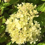 vipphortensia-little-lime-1