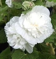 stockros-chaters-double-white-9cm-kruka-1
