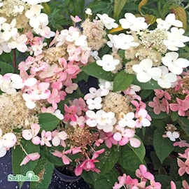 vipphortensia-early-sensation-50-l-co-1