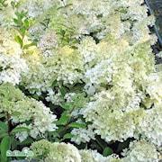 syrenhortensia-grandiflora-35-l-co-1