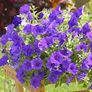 petunia-surfina-violet-105cm-kruka-1