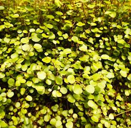 slideranka-muehlenbeckia-golden-girl-12cm-kru-1