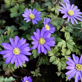 balkansippa-blue-shade-15st-1