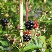 flikbjrnbr-thornless-evergreen-9cm-kruka-1