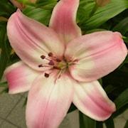 asiatlilja-fantasiatic-pink-2st-1