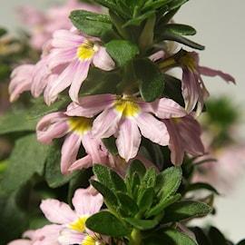 femtunga-rosa-12cm-kruka-1