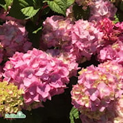 hortensia-endless-summer-bloomstar-50-l-co-1