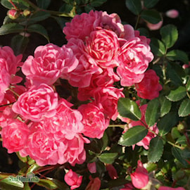 klasblommande-ros-pink-the-fairy-20cm-kruka-1