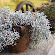 silvergirland-105cm-kruka-1