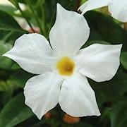 bgarranka-bella-white-impr-105cm-kruka-1