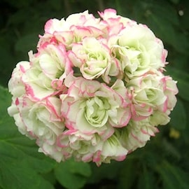 rosenknoppspelargon-appleblossom-3st-sticklin-1