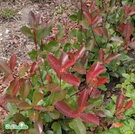 glansmispel-little-red-robin-c15-2-1