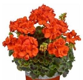 zonalpelargon-smart-orange-patricia-12cm-kruk-1