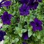 petunia-veranda-dark-blue---3-plantor-3
