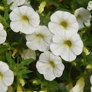minipetunia-unique-white---3-plantor-1